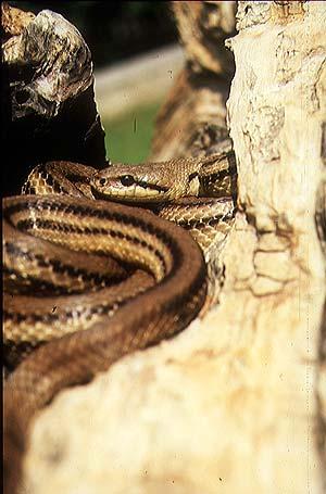 Rettili for Cervone serpente